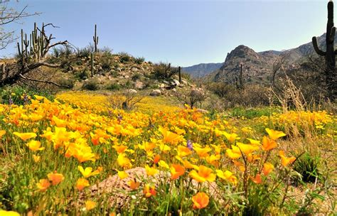 Peak Of Chic by 6 Desert Spring Flowers Catalina Mountains