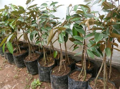 Harga Bibit Durian Bawor 2015 bibit durian bawor bibit tanaman buah penghijauan