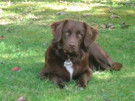 spanador puppies spanador information pictures reviews and q a greatdogsite