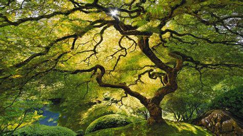 wallpaper of tree rainforest trees canopy wallpaper