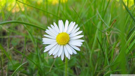 wallpaper grass flower download white flower and green grass wallpaper 1920x1080
