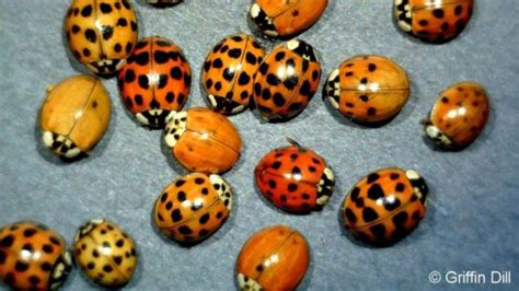 how to keep ladybugs out of house how to keep ladybugs out of house how to keep ladybugs out of your home this winter wgme