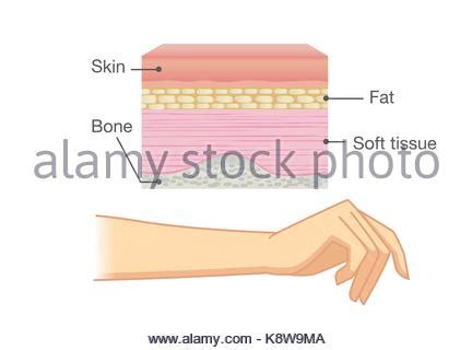 anatomy of human skin layer and arm stock vector 689023216 istock normal skin anatomy of human stock vector illustration vector image 137674658 alamy