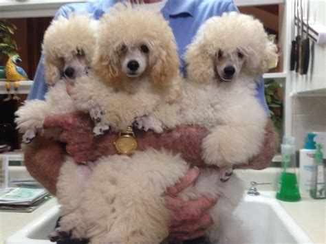 lifespan of mini poodle miniature poodle for sale in merry