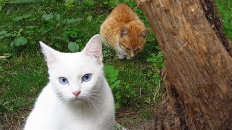 the white cat and white cat with friends and kitten meows on the street youtube