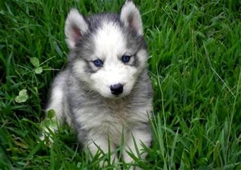 white husky puppy with blue grey siberian husky puppies with blue photo happy heaven