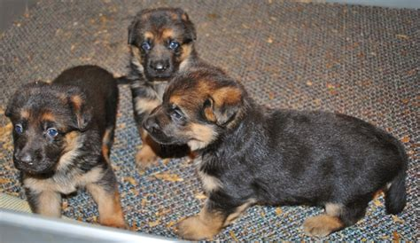 what to feed 4 week puppies 4 week german shepherd puppies majestic kennels