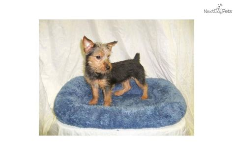 fox terrier yorkie mix puppies for sale meet a terrier yorkie puppy for sale for 310 fox terrier