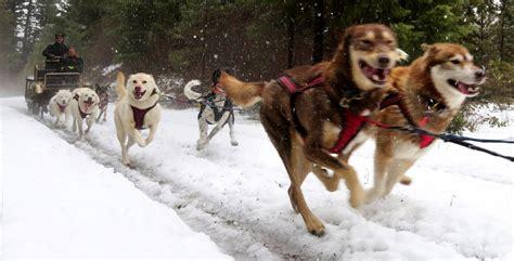 mush sled sled dogs mush through the slush the seattle times