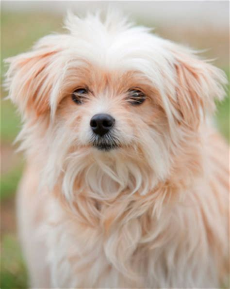 shih tzu mix with maltese meet the shih tzu maltese mix aka mal shi malti zu or malti tzu