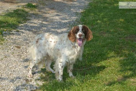 english setter show dogs for sale english setter puppy for sale near louisville kentucky