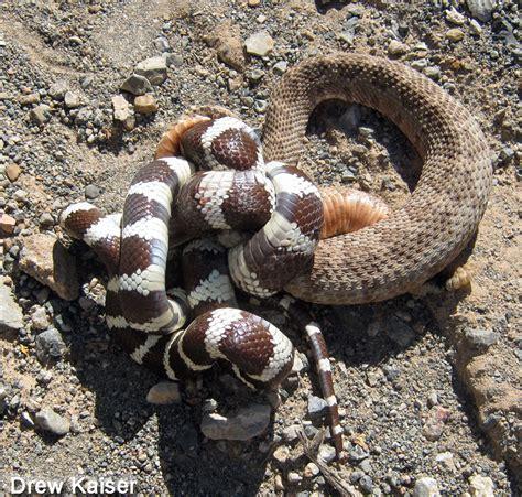 king snake colors california kingsnake lropeltis californiae
