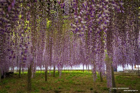 deloprojet wisteria fuji a plant that grows all over japan