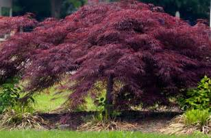 crimson queen japanese maple maples n more nursery
