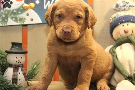chesapeake bay retriever puppies for sale chesapeake bay retriever puppy for sale near lancaster pennsylvania 3916a4eb 9ec1