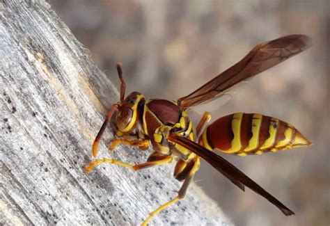 How To Make Paper Wasps - paper wasps archives what s that bug