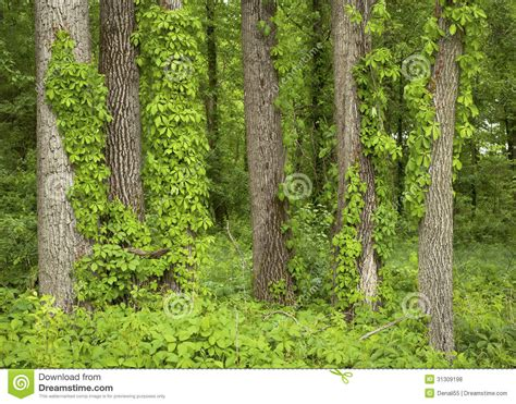 what is a tree trunk covered with 4 letters vine covered trees royalty free stock photos image 31309198