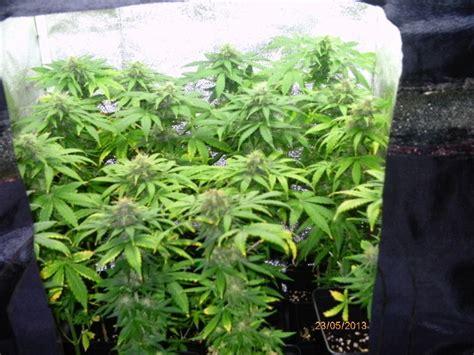 cultiver du cannabis en espaces r 233 duits du growshop alchimia