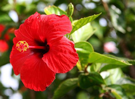 Bunga Hibiscus Scarlet hibiscus rosa sinensis