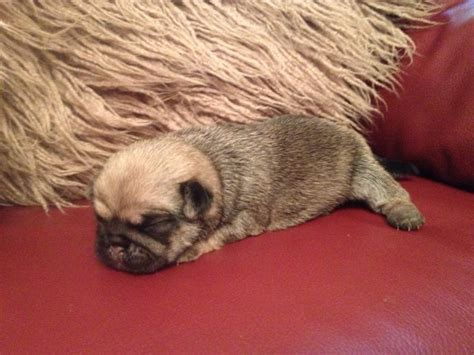 pug cross puppies for sale uk pug cross puppies for sale epping essex pets4homes