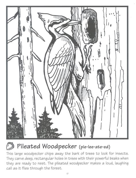 Pileated Woodpecker Coloring Page