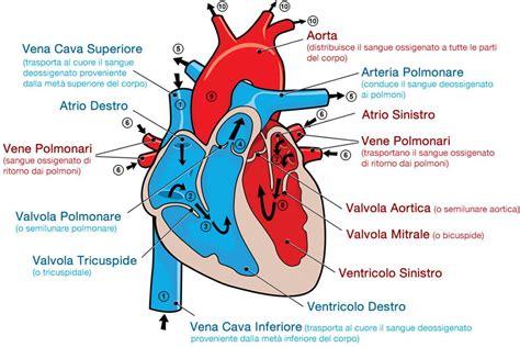 vasi cuore alcune curiosit 224 sull anatomia cuore