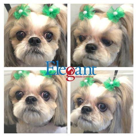 best way to groom a shih tzu shih tzu grooming styles groomer s coquitlam aviva dogspaw grooming 44