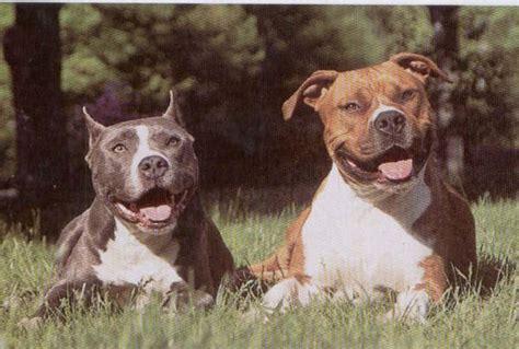 corte de orejas pitbull american pitbull terrier corte de orejas