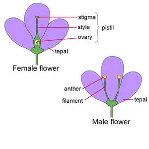 flowers having either only male or only female parts