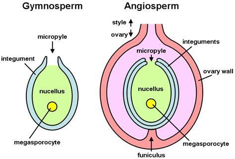 ovule diagram file ovule png