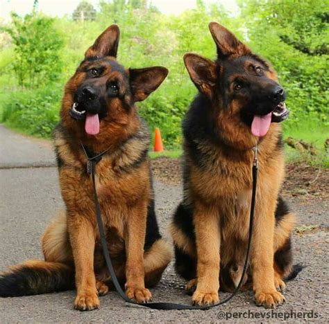 how many puppies can a german shepherd 25 great ideas about german shepherds on baby german shepherds