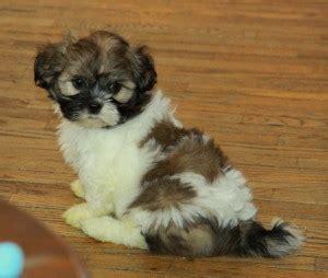 shih tzu puppies for sale 300 choosing shih tzu puppies for sale puppies for sale dogs for sale in ontario