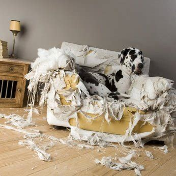 dog chewing couch why dogs chew and how to stop it dalmatian care and training