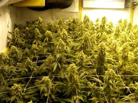 plants that grow in rooms my grow room for cannabis plants by limbo www limbo co