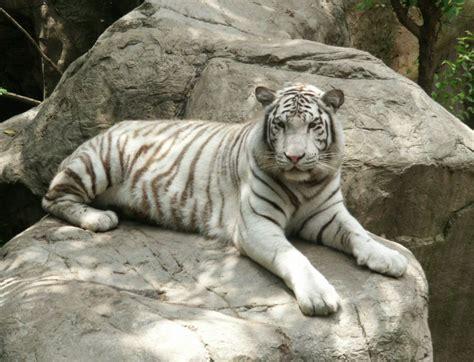 Tiger White white tiger animal wildlife