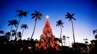 hawaiian christmas tree norfolk island pines are the