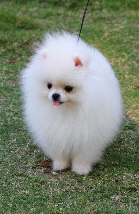 white pomeranian pictures puppies i search i
