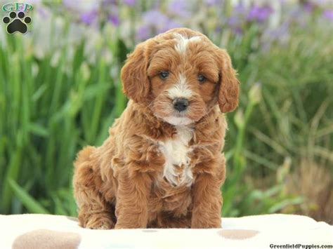 mini goldendoodles oklahoma 183 best images about animals on poodle mix