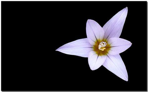 imagenes blancas en fondo negro flor blanca fondo negro apariencia blanca alma negra