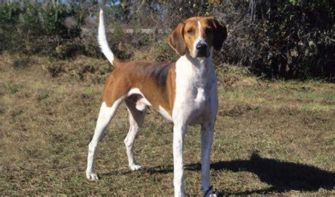 Foxhound Shedding american foxhound breed information