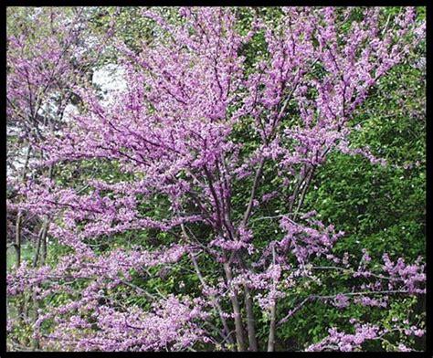 in my garden redbuds mean spring time