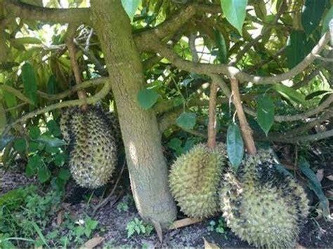 jual durian duri hitam  lapak bibitkemarinsore doni