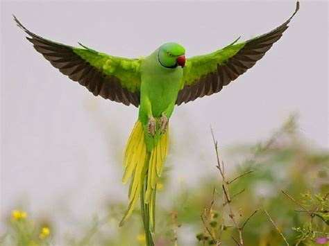 Flying Parrot Hd Wallpapers Most Beautiful Parrots Hd Beautiful Bird Flying