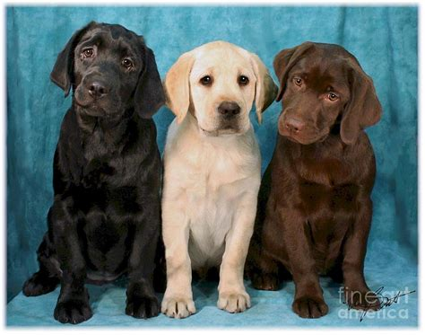lab colors labrador retriever puppies all colors
