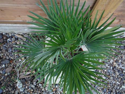 chamaerops humilis mediterranean fan palm chamaerops humilis vulcano 5l evergreens turn it