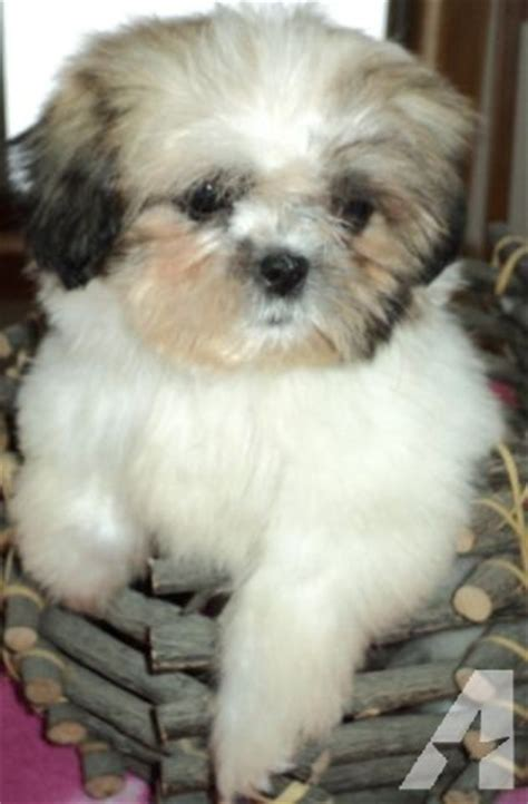 shih tzu puppies mn shih tzu puppies for sale in baxter minnesota classified americanlisted