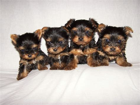 yorkie wallpaper for walls download yorkie puppies 24227 1656x1242 px high resolution