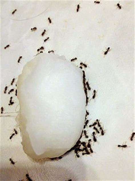 what attracts ants in the bedroom yes borax got rid of the ants