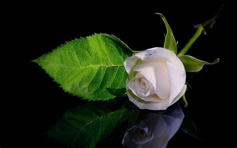 Beautiful White Roses Wallpapers ? Photos ? Flowers Images