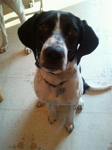 pointer mix boingle beagle german shorthaired pointer mix info and pictures